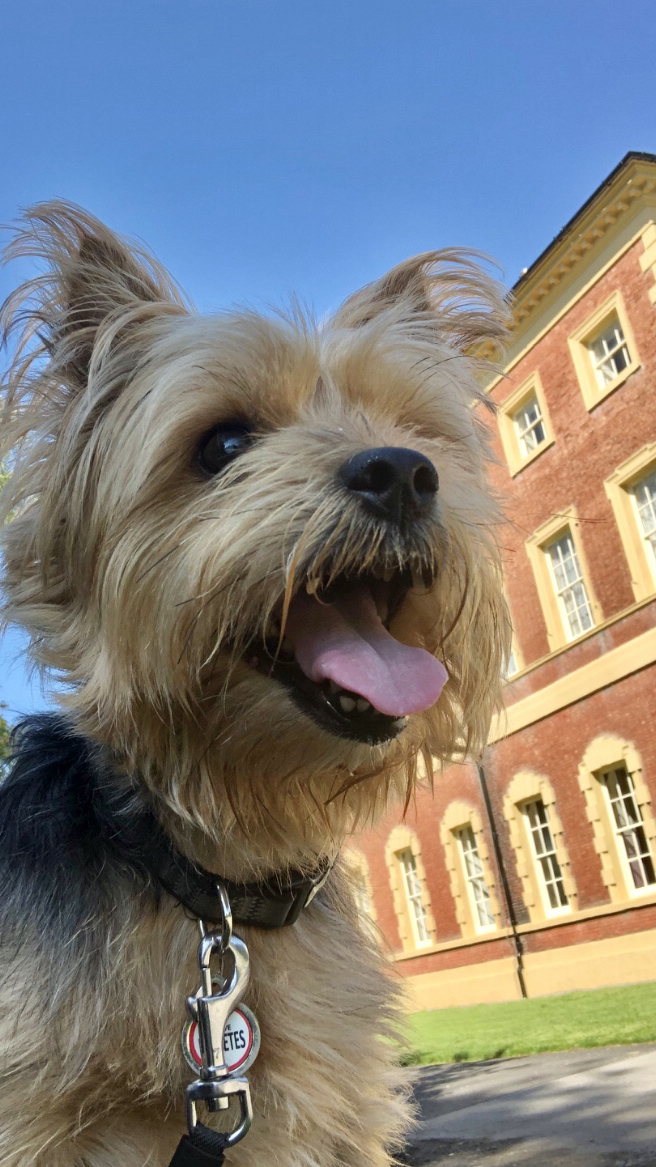 Buffy<br />Yorkshire Terrier