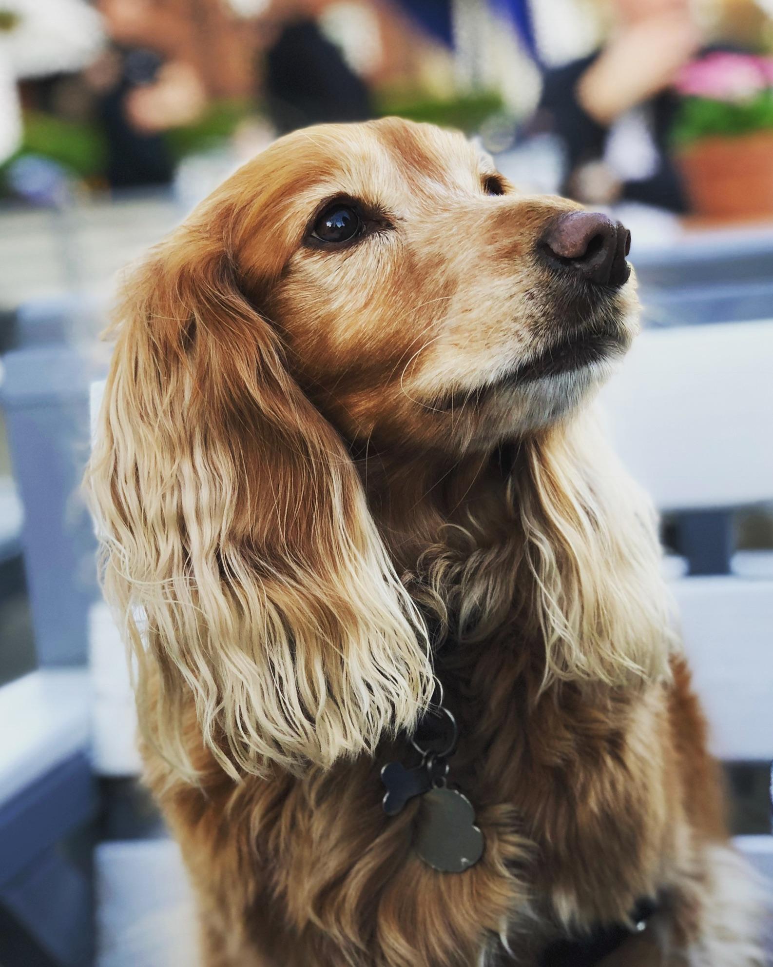 Lilly<br />Cocker Spaniel